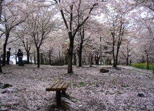 nakkhwa-sakura